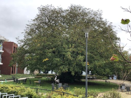 Afbeelding #003 voor het verhaal Stemmen! Johan Antheunisse over de Tweestammige Vleugelnoot in Middelburg