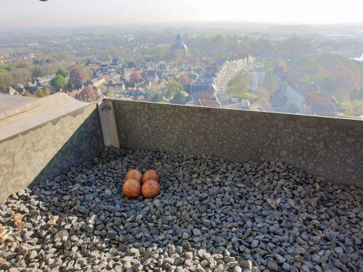 Afbeelding #000 voor het verhaal De Slechtvalken broeden weer op de Lange Jan in Middelburg