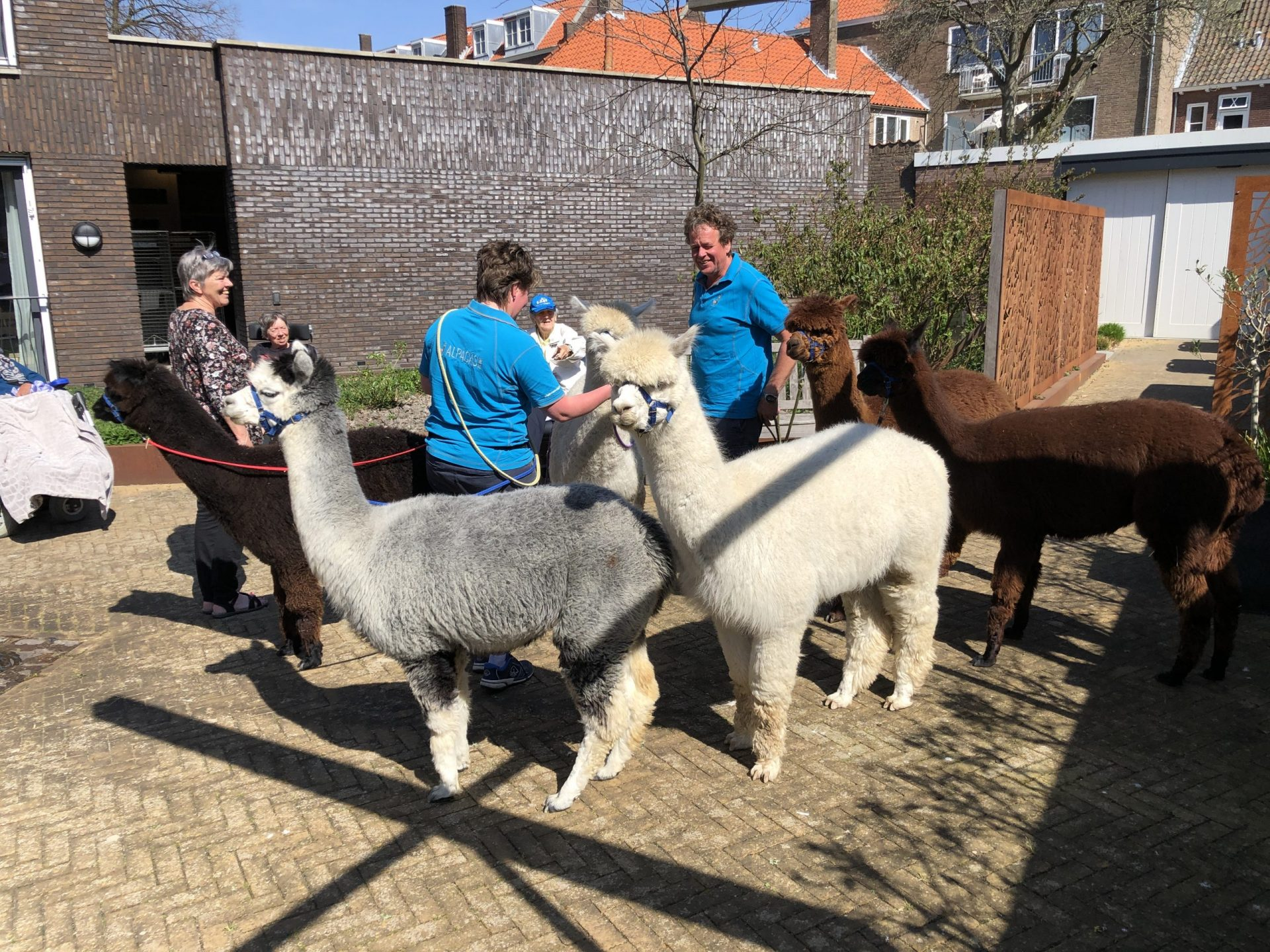 Afbeelding #000 voor het verhaal Met Alpacas Zeelandia op bezoek bij Willibrord in Middelburg