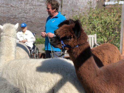Afbeelding #001 voor het verhaal Met Alpacas Zeelandia op bezoek bij Willibrord in Middelburg