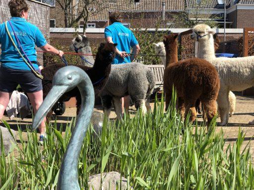Afbeelding #002 voor het verhaal Met Alpacas Zeelandia op bezoek bij Willibrord in Middelburg