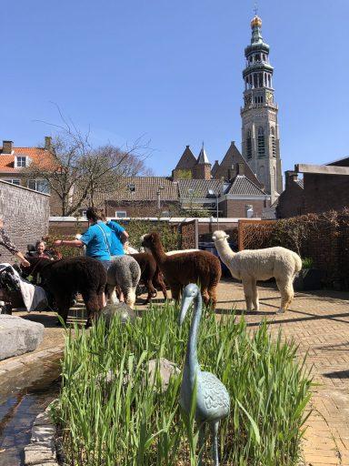 Afbeelding #003 voor het verhaal Met Alpacas Zeelandia op bezoek bij Willibrord in Middelburg