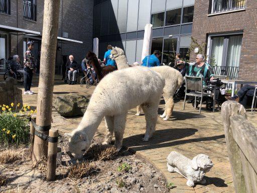 Afbeelding #004 voor het verhaal Met Alpacas Zeelandia op bezoek bij Willibrord in Middelburg