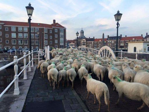 Afbeelding #000 voor het verhaal Middelburg schapenstad