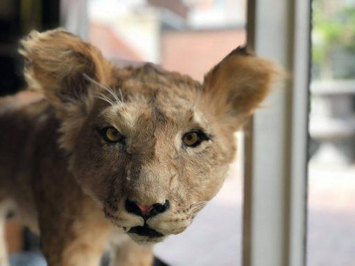 Afbeelding #000 voor het verhaal Simba, het Vlissingse leeuwtje dat na 40 jaar opdook in Middelburg
