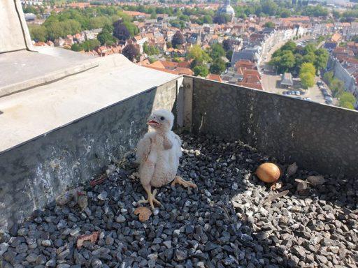 Afbeelding #000 voor het verhaal Slechtvalken broeden ei uit op de Lange Jan