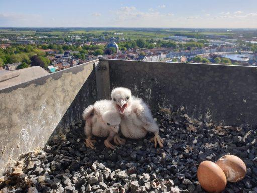 Afbeelding #000 voor het verhaal Twee slechtvalkjes geboren op de Lange Jan!