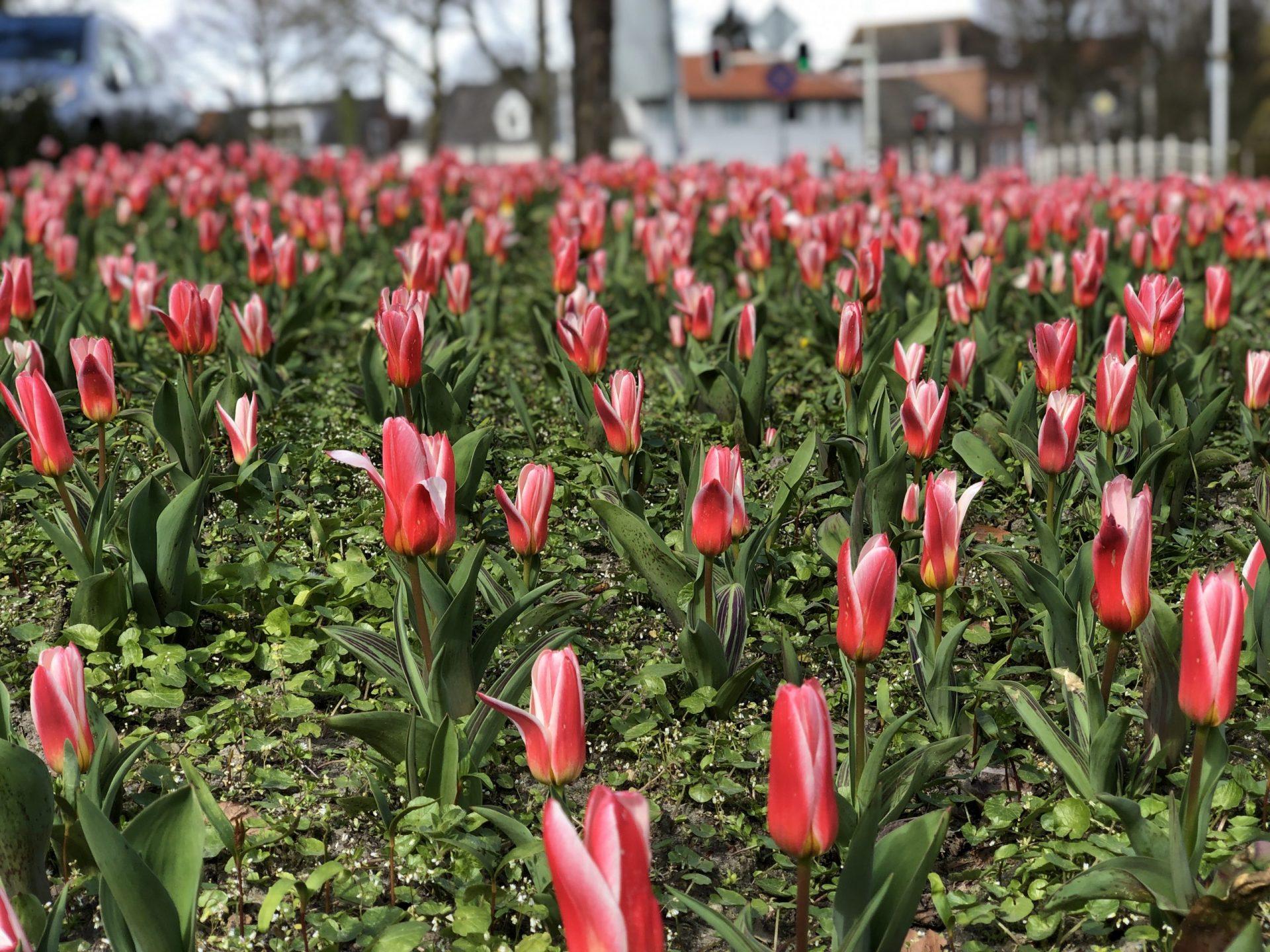 Afbeelding #000 voor het verhaal Verlangen naar de tulpen van het Seisplein