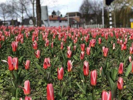 Afbeelding #001 voor het verhaal Verlangen naar de tulpen van het Seisplein