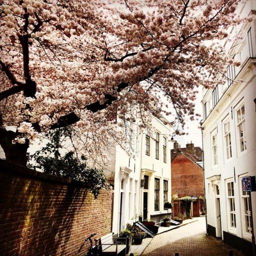 Afbeelding #000 voor het verhaal Wij zijn de bloesem: een Middelburgse boom viert de lente
