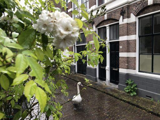 Afbeelding #000 voor het verhaal Zwaan geniet van Middelburg Rozenstad