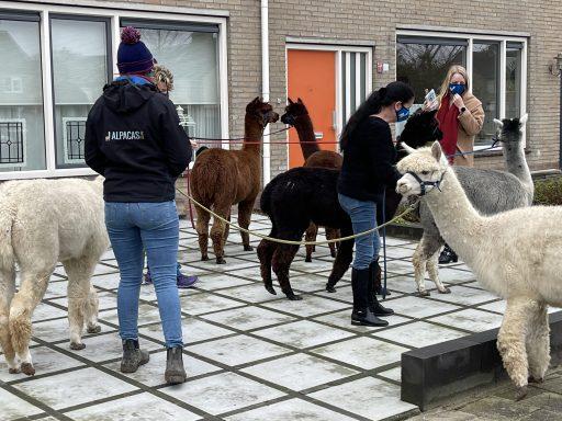 Afbeelding #002 voor het verhaal Een Alpaca Delivery in Middelburg-Zuid