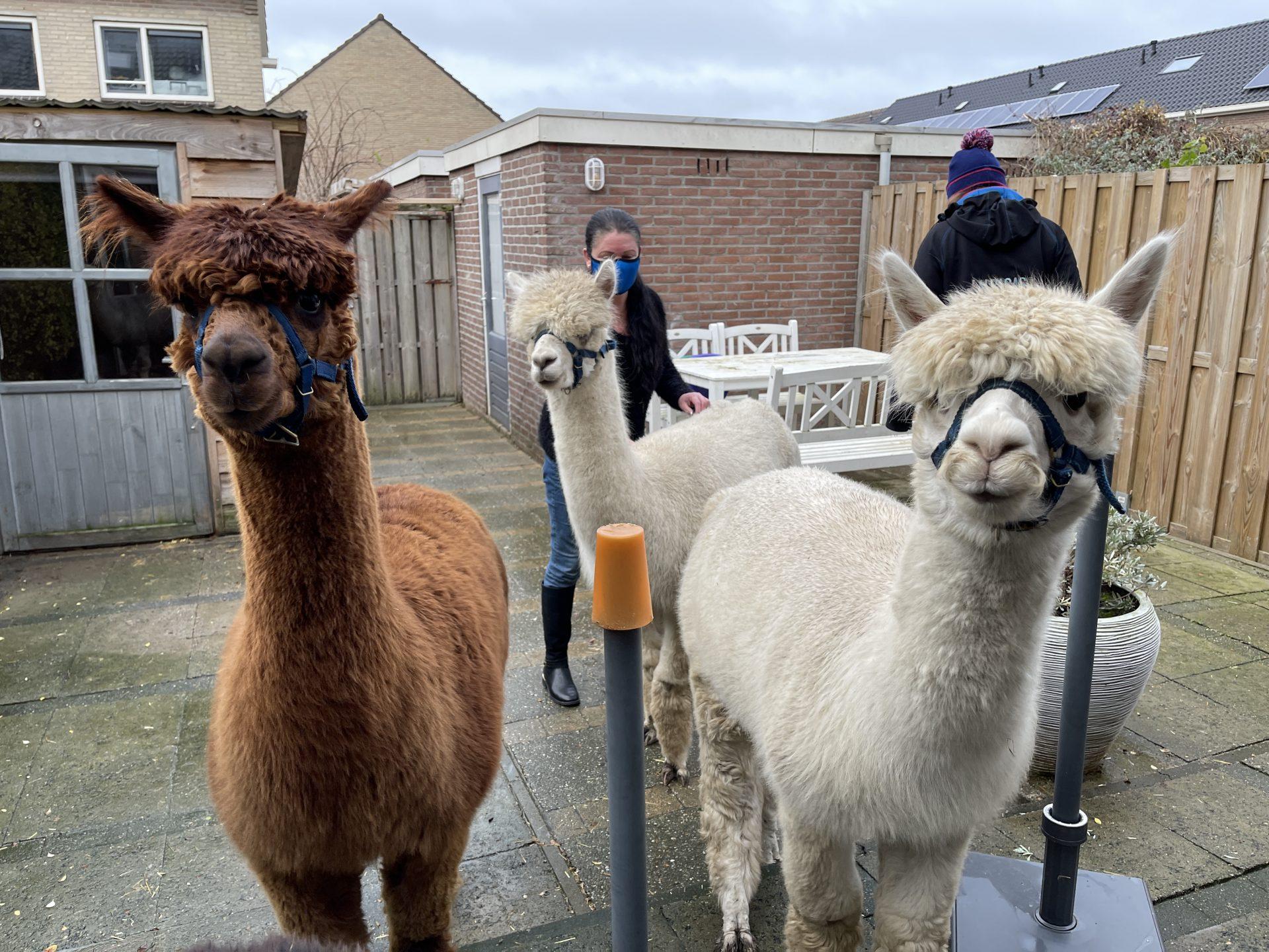 Afbeelding #009 voor het verhaal Een Alpaca Delivery in Middelburg-Zuid